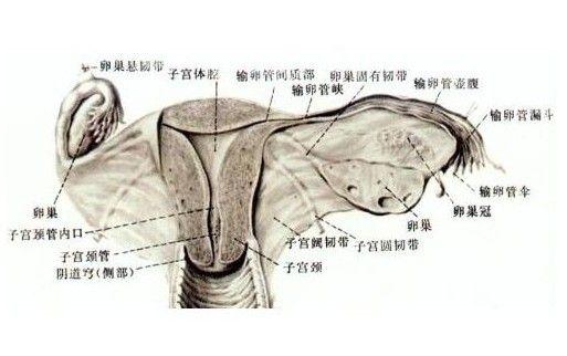 统核心 卵巢结构图