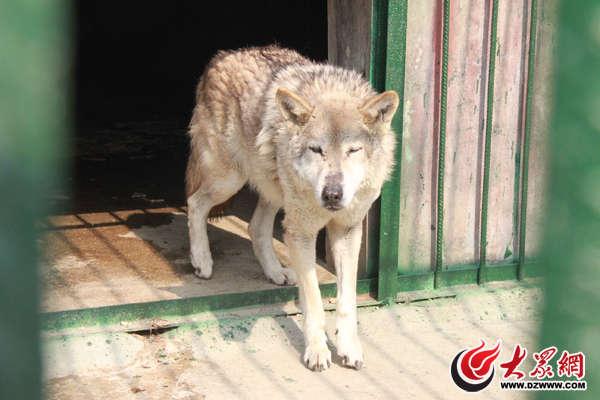 公园里真正的狼就在疑似狼的隔壁(摄影韦辉) 另外,对于这只