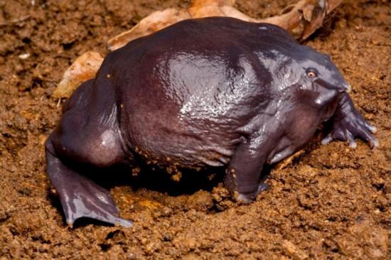 紫蛙,这种动物一般身长8厘米,鼻子极小,眼睛也很小,但是相较图片