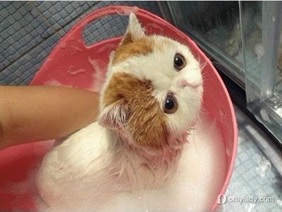 卖萌加菲猫洗澡全过程