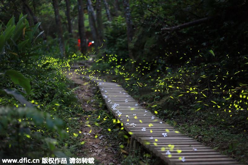 台湾森林变身童话世界 数百萤火虫照亮曲径深处图片
