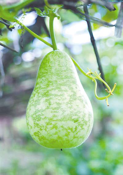 葫芦瓜减肥润肤