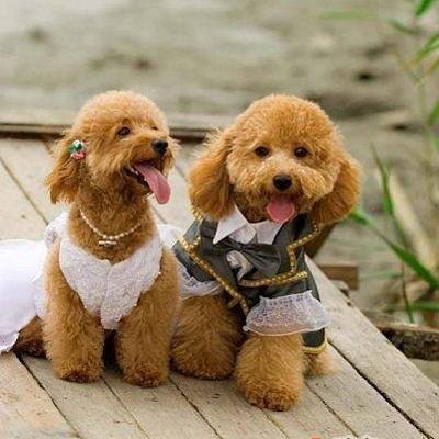 超级可爱的狗狗结婚照