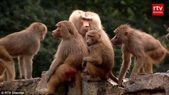 荷兰动物园狒狒静坐绝食 神秘奇葩动物大总汇