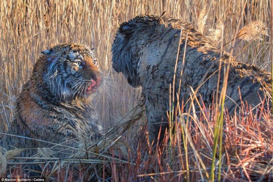 两只老虎打架被拍到