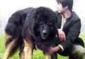 世界上六种最凶猛的狗