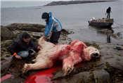 摄影师拍因纽特人捕杀北极熊