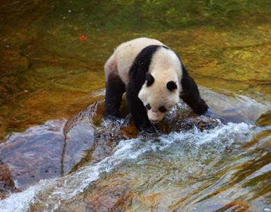 陕西省太白县黄柏塬现野生大熊猫