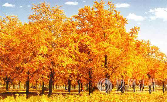 中国五大银杏基地之——邳州国家级银杏博览园