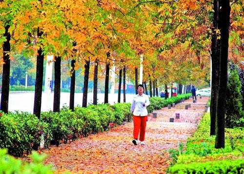 以白蜡作行道树,笔直的树干,金黄的叶片,在秋阳的照射下熠熠生辉,给