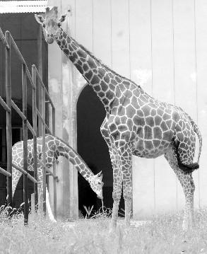 近日,红山动物园的长颈鹿就已经住进了24小时油炉加温的暖房,其他动物
