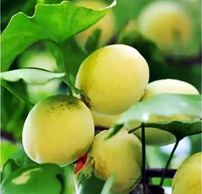 此次前去,果然又没扑空,树上挂满了饱匀圆满的银杏果子.