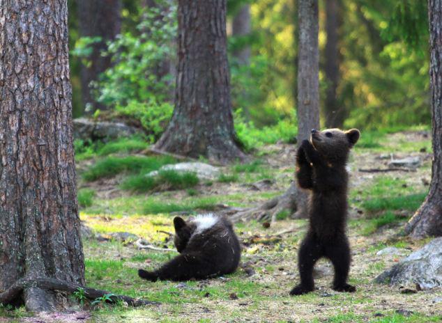 据英国《每日邮报》近日报道,芬兰52岁的体育老师瓦尔特利在树林里幸运地拍到三只棕熊宝宝围成圆圈,欢快起舞的萌照。报道称,瓦尔特利在穿越东芬兰的树林时,惊奇地看到三只站立的熊宝宝。像置身童话故事里的魔法森林般,它们欢乐地点着步子,扭动身体,偶尔还手拉手绕着圆圈起舞。不一会儿,一只小熊独自站出来,开始大跳吉格舞,似乎象征比舞胜出。瓦尔特利兴奋地表示,通常熊宝宝站起来,都是准备打上一架。这些跳舞的熊宝宝真是太稀奇了!