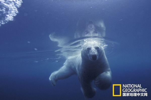 在加拿大曼尼托巴省的哈德逊湾,一只北极熊正望着她的幼崽。哈德逊湾因为北极熊而著称,但这种动物的种群数量正在下降。摄影:TomMurphy  在斯瓦尔巴特群岛,一头北极熊用运动感应相机在不经意间完成了一张自拍照。摄影:PaulNicklen  在挪威的斯匹次卑尔根岛附近,一只北极熊完成了两块浮冰之间的跳跃,照片摄于2010年。从1979年到2008年,挪威边境的巴伦支海上的大片浮冰缩减了近30%。摄影:RalphLeeHopkins  在曼尼托巴省的哈德逊湾,一只赤狐正在和北极熊蹭鼻子。摄影:Johan