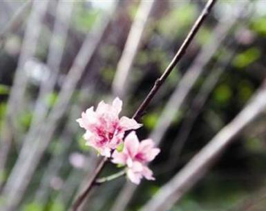 网友惊奇九月桃花开没 原是碧桃树花开两季米