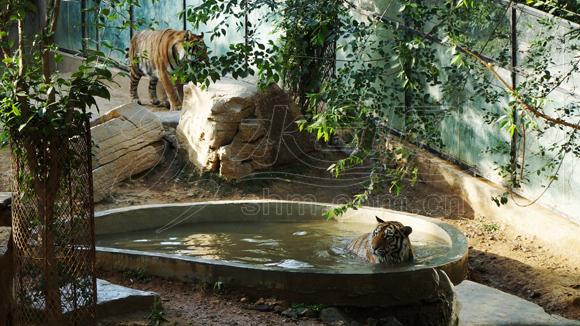烟台动物园消暑也疯狂 猴子吃冰棍老虎爱泡澡(图)