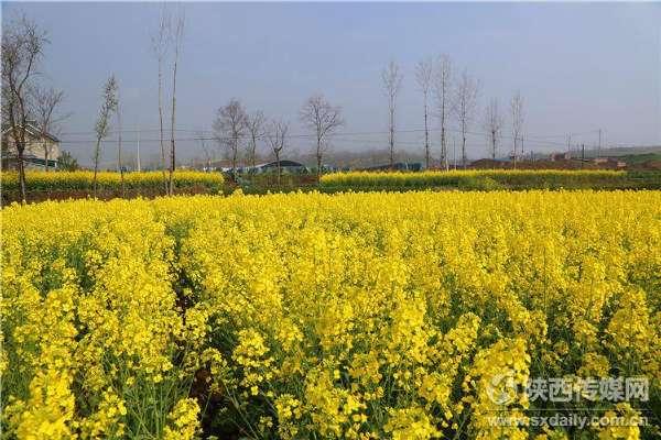 阳春三月踏春赏花 汉中万亩油菜花海盛开