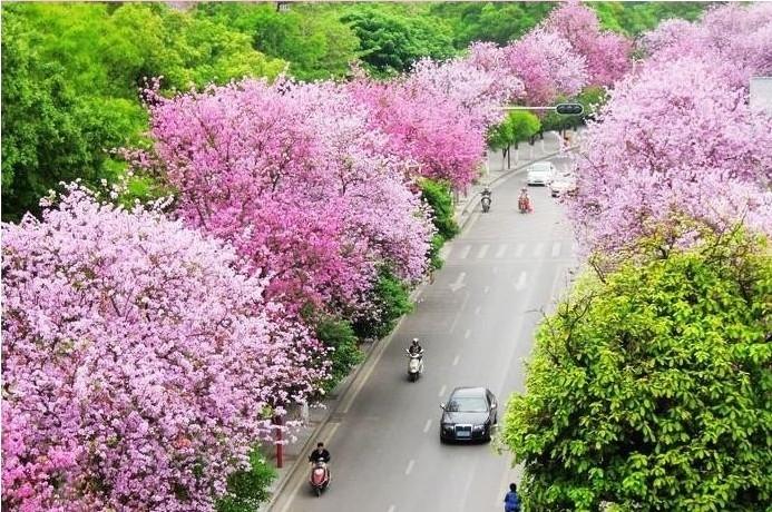 紫荆芳菲 柳州的粉色三月