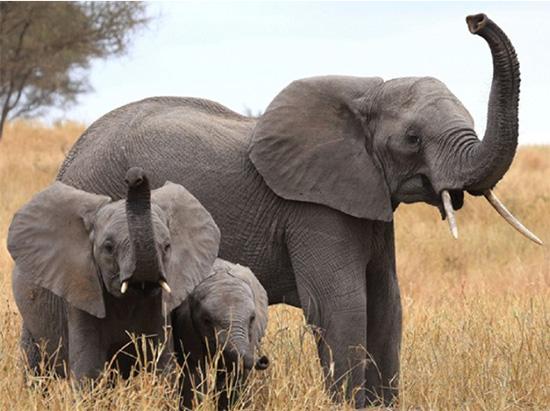 地球上最灵敏的鼻子在大象身上