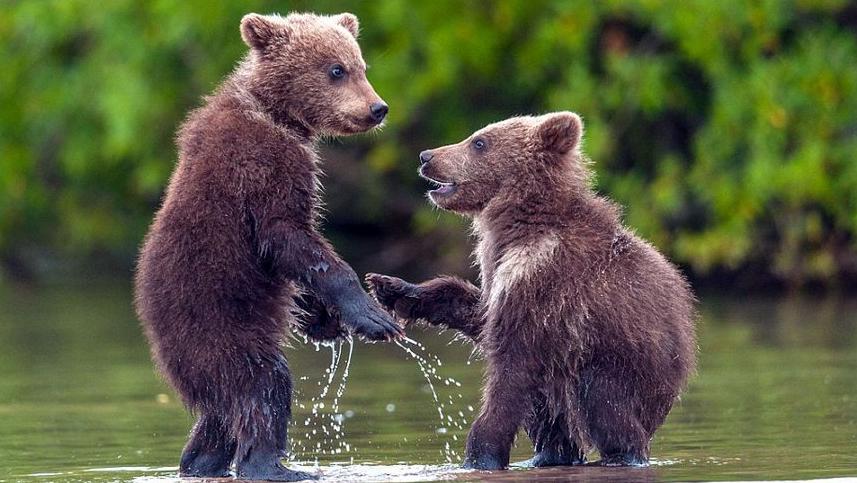 """俄两熊崽水中""""握手""""似好友重逢"""
