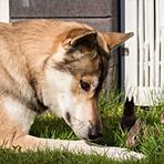 牧羊犬照看宠物兔