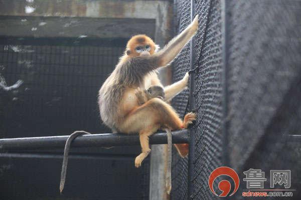 济南动物园金丝猴又添新成员
