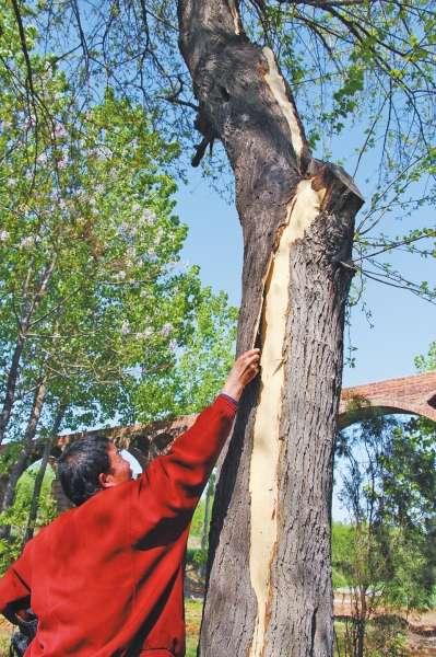 陕县:雷电劈掉一桑树4米长树皮专家介绍防范措施