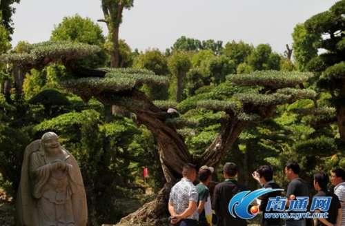 """获""""最美造型树""""一等奖《西班牙橄榄树》"""