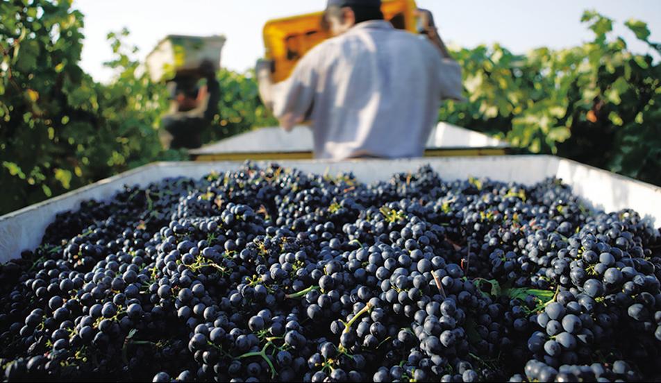 加州葡萄收获情况令人雀跃