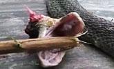 实拍毒蛇头身分离 用断头咬死厨师