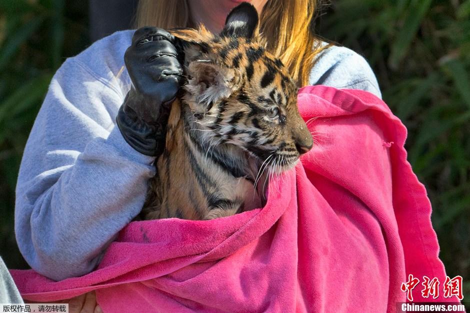 美国小老虎参加游泳考试 瞪大双眼显紧张(组图)
