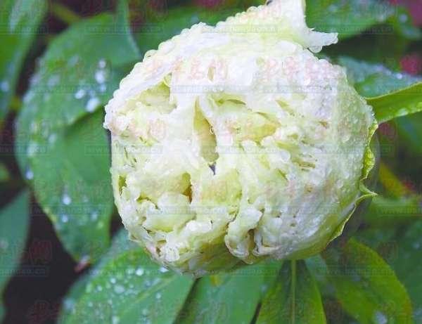 青岛居民家百岁牡丹开50朵花 绿牡丹罕见(图)