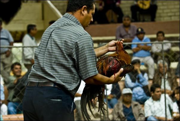 秘鲁传统斗鸡尚未禁止 驯养技术代代相传