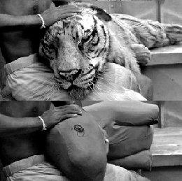 好莱坞大片特效揭秘图《少年派》老虎是布偶