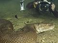 摄影师在热带雨林发现8米巨型蟒蛇