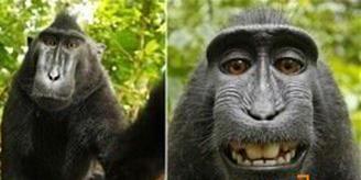 (转载)猴子自拍引纠纷 - 点点流光 - 点点流光