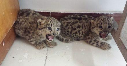新疆:牧民发现两只雪豹宝宝 救援后放归大自然(图)