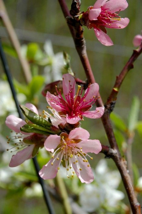 一棵树同时结40种不同的水果 - 雷石梦 - 雷石梦(观新闻)