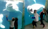 白鲸吓唬小朋友 张着嘴不让人靠近
