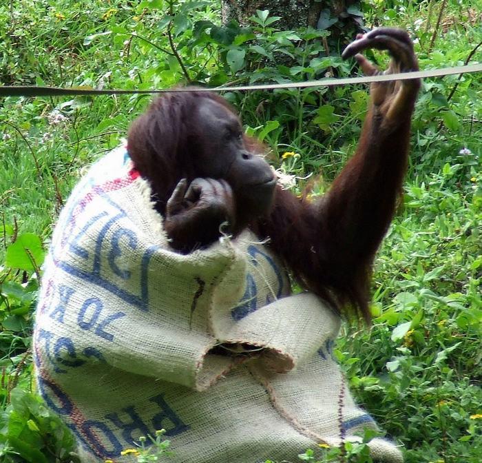 英动物园猩猩把袋子当连体衣逗游客发笑