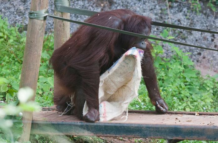 据英国《镜报》9月8日报道,近日,在英国德文郡派恩顿动物园(Paignton Zoo)内,16岁的雌性婆罗洲红毛猩猩甘彼拉(Gambira)好奇心旺盛,对时尚非常敏感。它将空的咖啡袋剪裁成连体衣套在身上,还向同伴们炫耀,这一举动逗得游客们大笑。