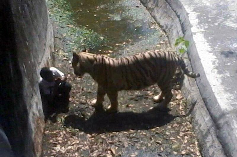 在印度新德里动物园,跳入老虎场地的男学生在角落里向老虎做出求饶的