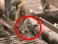 实拍猴子被铁轨电昏 同伴将其丢入水沟晃醒