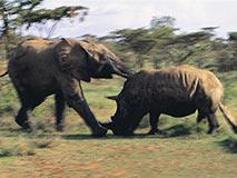 犀牛斗象:犀牛身破数洞流血而亡