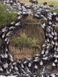 迁徙角马遭遇狮群 厮打阵势惊人