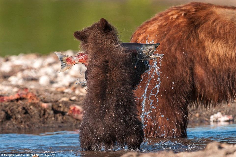 野生动物摄影师sergey ivanov近日在俄罗斯kronotsy水库抓拍到野熊