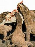 科莫多巨蜥咬死水牛 生吞活剥片骨不剩