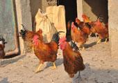 村民报案称鸡不下蛋 警察查看发现全是公鸡