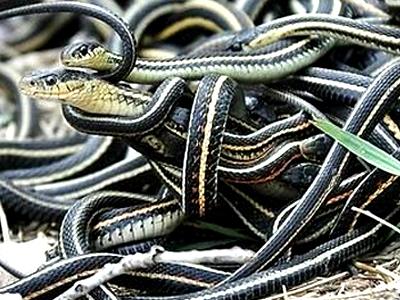 实拍加拿大上万条雄蛇猛扑一条雌蛇强行交配