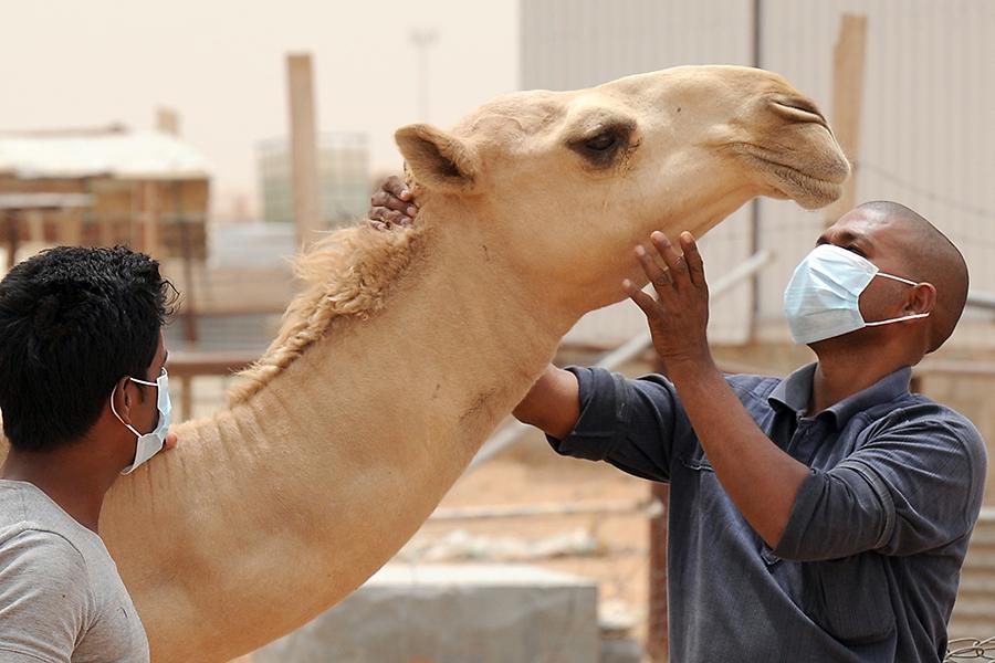 """在中东地区,人们骑骆驼之后感染的MERS病毒也只能传播到二代病例为止,所以被称为""""有限的人传人""""。所以,MERS病毒尚不具备全球大流行的能力。"""